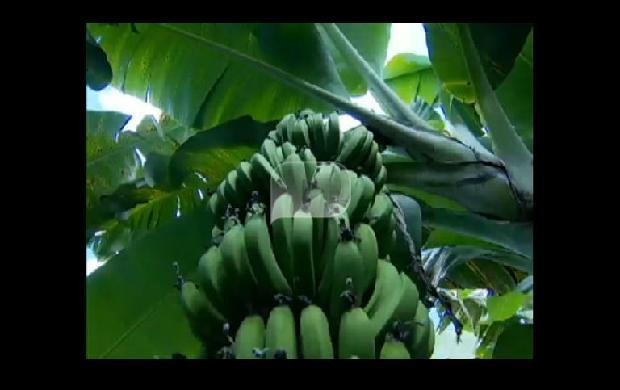 """Bananas """"Refinadas"""" Crescem ao Som de Música Clássica"""